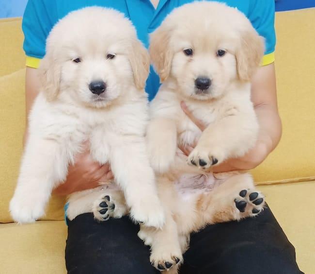 Mua chó cảnh ở Sieupet.com